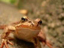 лягушка счастливая Стоковая Фотография