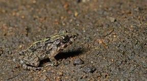 Лягушка травы, красивая лягушка, лягушка на песке Стоковое Изображение