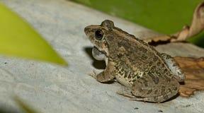 Лягушка травы, красивая лягушка, лягушка на утесах Стоковые Изображения RF