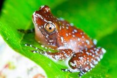 Лягушка циннамона Стоковые Изображения