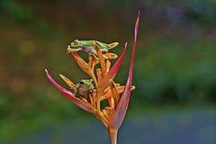 Лягушка, 2 лягушка, животные, Стоковая Фотография RF