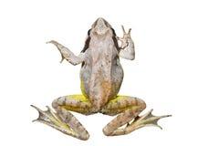 лягушка 14 Стоковое Изображение RF