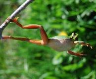 лягушка 2 скачет s Стоковое Изображение