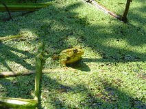 лягушка 2 Стоковые Изображения