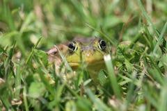 Лягушка Стоковые Изображения