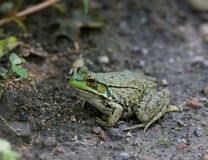 лягушка Стоковые Фото