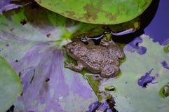 Лягушка Стоковые Изображения RF