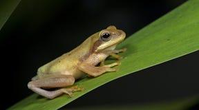 Лягушка Doria s Буша, красивая лягушка, лягушка на зеленых лист Стоковые Изображения