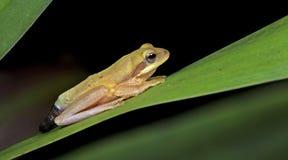 Лягушка Doria s Буша, красивая лягушка, лягушка на зеленых лист Стоковые Фотографии RF