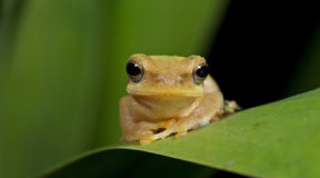 Лягушка Doria s Буша, красивая лягушка, лягушка на зеленых лист Стоковая Фотография RF