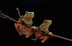 Лягушка Dumpy, животные, этап, естественный, лодкамиамфибии, гады Стоковая Фотография