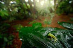 Лягушка Fleschmanns стеклянная, fleischmanni Hyalinobatrachium в среду обитания природы, животном с большими желтыми глазами, в р стоковое изображение