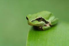Лягушка Hyla на зеленых листьях и зеленом rel предпосылки Стоковые Изображения