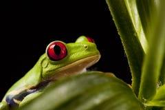 лягушка lear Стоковое фото RF