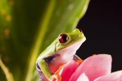лягушка lear Стоковые Изображения