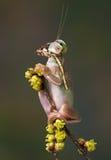 Лягушка Mantis на ветви Стоковые Изображения