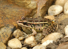Лягушка Pickerel Стоковые Фотографии RF