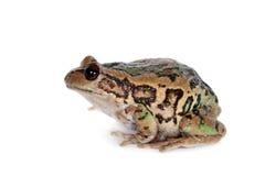 Лягушка Riobamba сумчатая на белизне Стоковые Фотографии RF