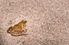 Лягушка Sitiing Стоковое Фото