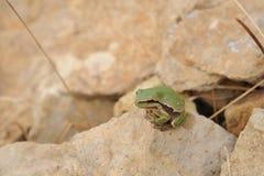 Лягушка Striped зеленым цветом Стоковая Фотография RF