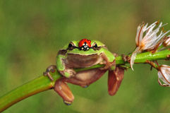 Лягушка Treee Стоковое фото RF