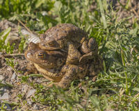 Лягушки в влюбленности Стоковые Фотографии RF