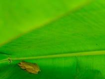 Лягушки в зеленых листьях банана Стоковое Изображение