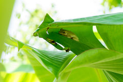 Лягушки в зеленых листьях банана Стоковые Фото