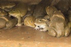 Лягушки в хорошем цементе Стоковые Изображения RF