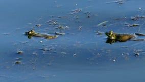 2 лягушки кладя на воду и одну имеют щеки сток-видео