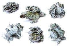 лягушки лягушки предпосылки белые Стоковая Фотография RF