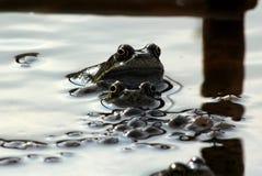 Лягушки, мама, папа и дети Стоковые Изображения RF