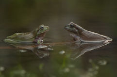 Лягушки на воде Стоковые Изображения RF