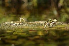 лягушки одичалые Стоковые Изображения RF