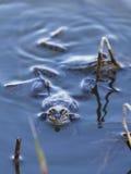 Лягушки сидя в воде Стоковое фото RF