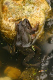 лягушки сопрягая воду Стоковое Фото