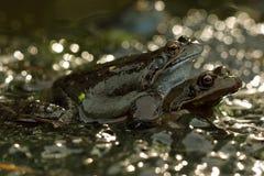 лягушки сопрягая воду Стоковое Изображение