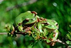 лягушки 2 приятельства Стоковое Изображение RF