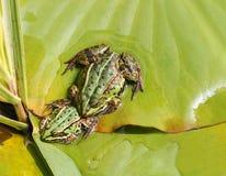 лягушки 2 Стоковое Изображение