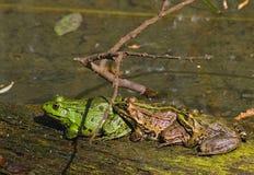 лягушки стоковые фотографии rf
