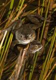 Лягушки Стоковое Изображение RF