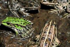 лягушки Стоковая Фотография