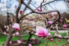 Магнолии цветения над предпосылкой природы Красивая сцена природы с зацветая деревом, солнцем и снегом стоковые изображения