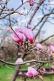 Магнолии цветения над предпосылкой природы Красивая сцена природы с зацветая деревом, солнцем и снегом стоковые фотографии rf