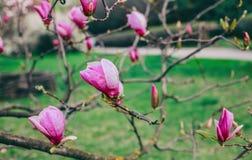 Магнолии цветения над предпосылкой природы Красивая сцена природы с зацветая деревом, солнцем и снегом стоковая фотография rf