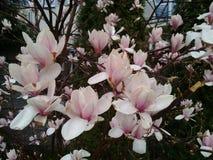 Магнолия зацветает весной Стоковые Фото