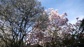 Магнолия и дерево с белыми цветками акции видеоматериалы
