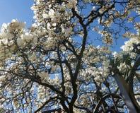 Магнолия с белыми цветками Стоковые Изображения