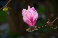 Магнолия тюльпана Стоковые Изображения RF