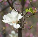 Магнолия цветет цветение Стоковые Фотографии RF